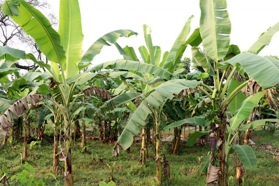 A view of a banana orchard in Rajshahi - FE file photo