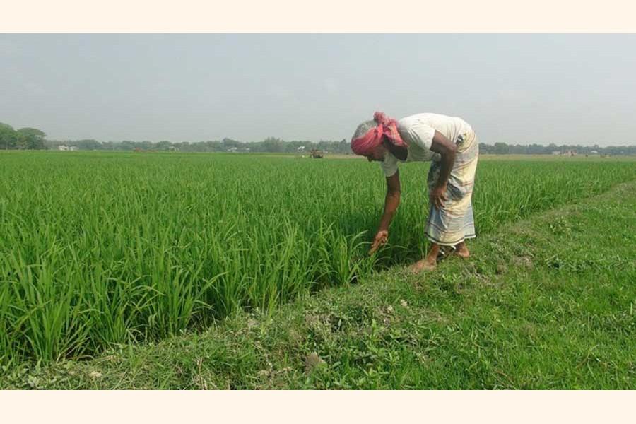 A farmer taking care of his Boro paddy field at a village in Faridpur district    — FE Photo
