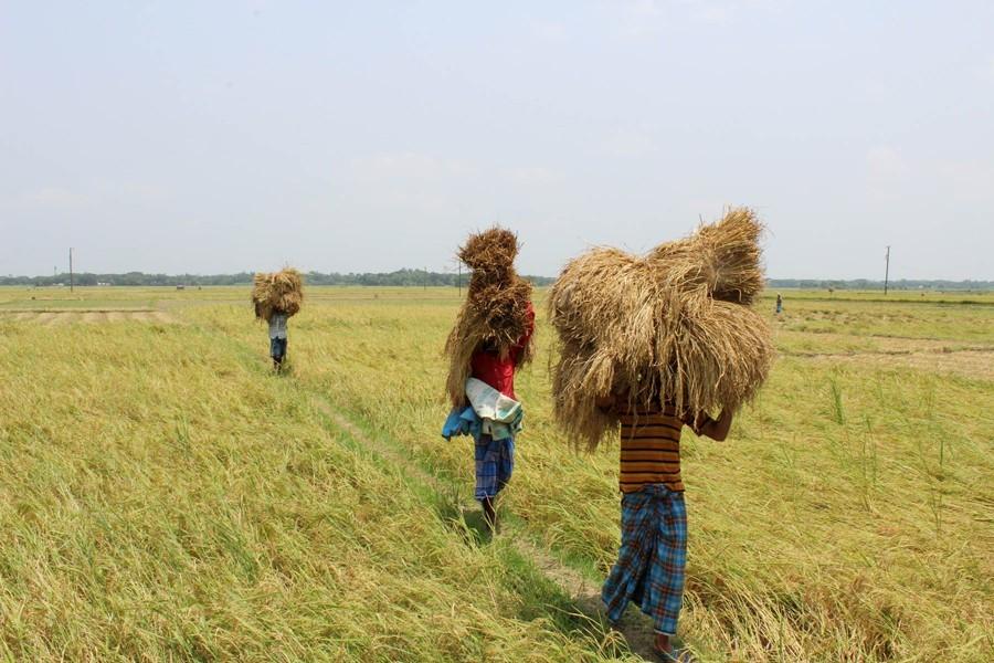 Boro farmers returning home with the newly-harvested paddy at Bashkuta village under Sadar upazila in Magura, May 09, 2018 — FE Photo/Files