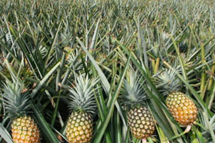 500 poor families become self-reliant through pineapple farming