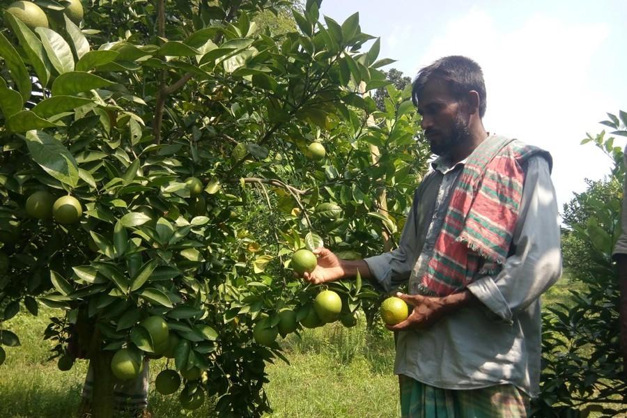 Farmer Waliar plucking malta in his garden atvillage Jagdal of Magura — FE Photo