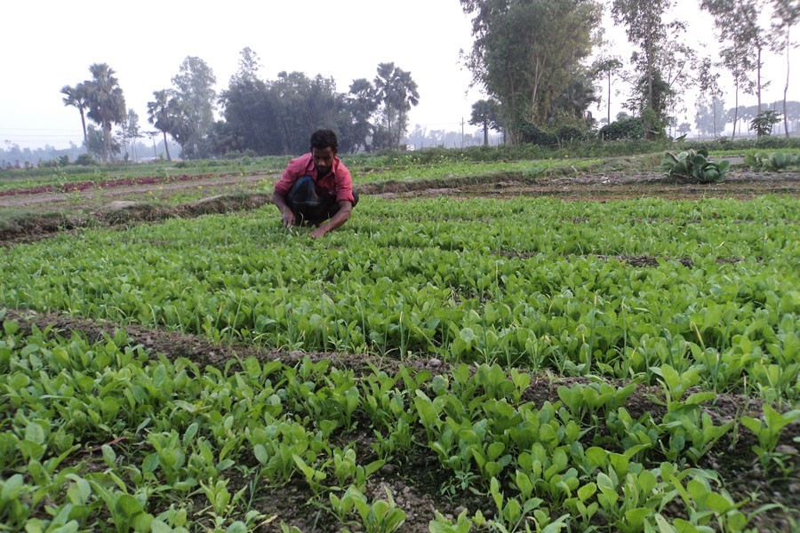 A farmer removing weeds from his spinach field in Kahaloo upazila of Bogura. The district witnessed a bumper yield of the winter vegetable this season — FE Photo
