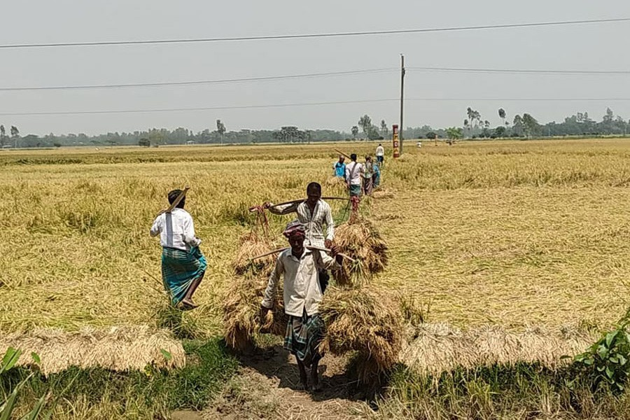 Farm labourers taking reaped transplanted Aman paddy home as harvesting of the crop is underway in all twelve upazilas of Bogura district — FE Photo
