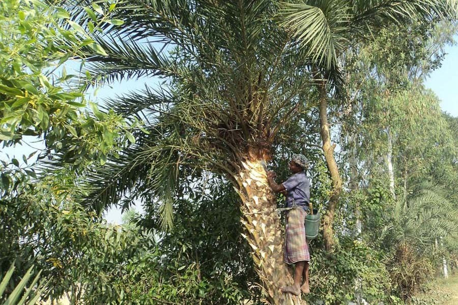 A Date juice collector is seen trimming a date tree for collecting juice under Dupchanchia upazila in Bogura district — FE Photo