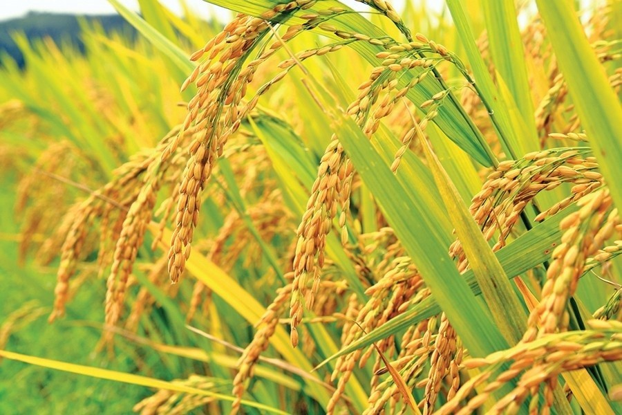 Aman rice production target exceeds in Rangpur region
