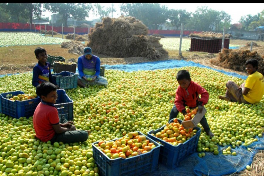 Traders ripening green tomatoes by putting them in the sun at the helipad field in Rajshahi's Godagari — FE Photo/Files