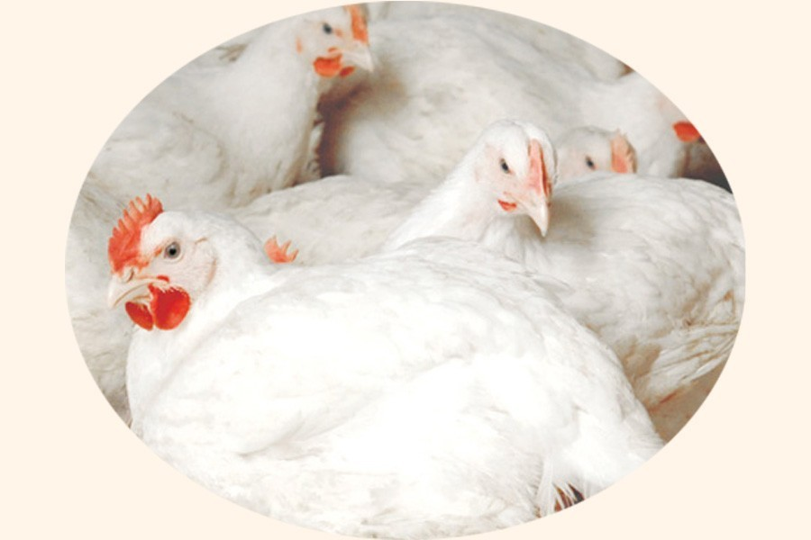Ministry seeks opinion on likely ban on poultry imports from India