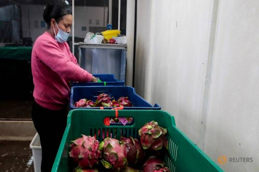 FILE PHOTO: A woman sorts and packs dragon fruit in Nicaragua July 5, 2017. REUTERS/Oswaldo Rivas/File Photo