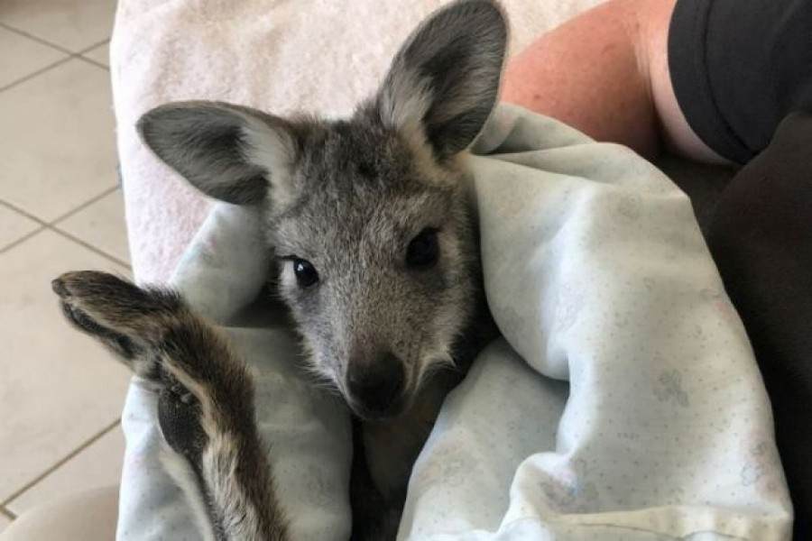Pippa, a rescued orphaned seven-month-old wallaroo, rests in a homemade pouch at the home of Wildlife Information Rescue and Education Service (WIRES) carers Christie Jarrett and Matthew Jarrett in Bathurst, Australia, February 14, 2021 — Reuters/Files