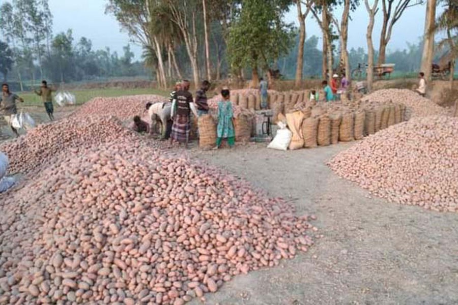 Potatoes being bought and sold from field at Tilokpur village under Akkelpur upazila of Joypurhat — FE Photo