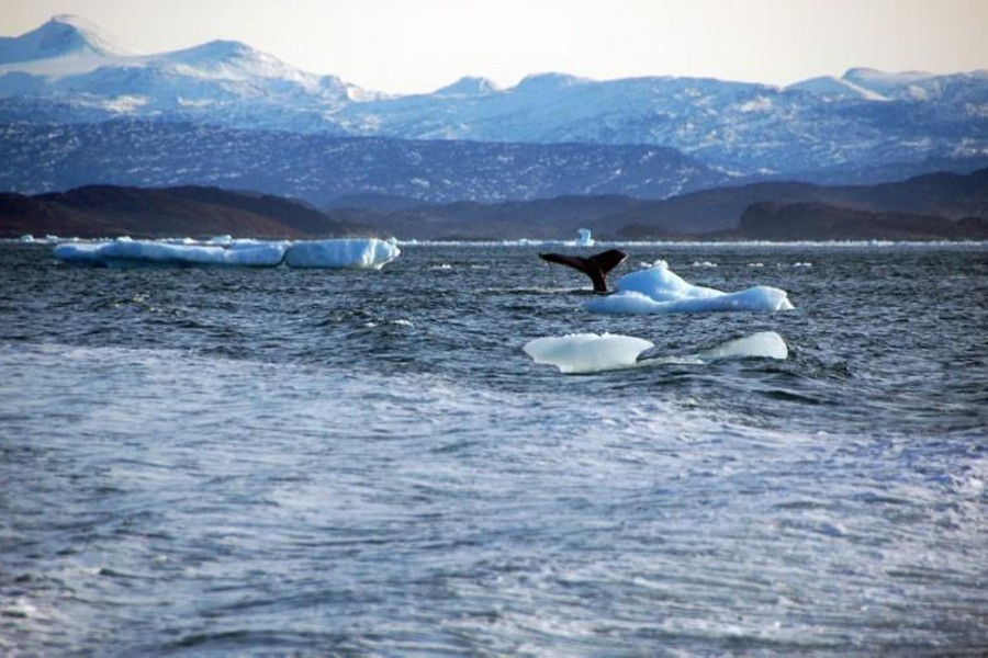 A whale dives into sea off the coast of Greenland's capital Nuuk on October 17, 2012 — Reuters/Files
