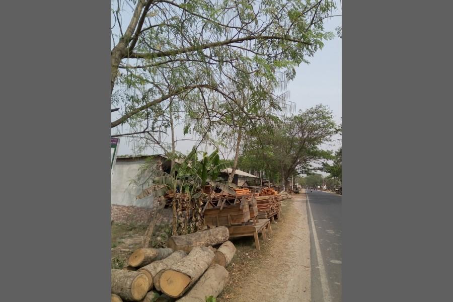 A horseradish tree in Jhenaidah district — FE Photo