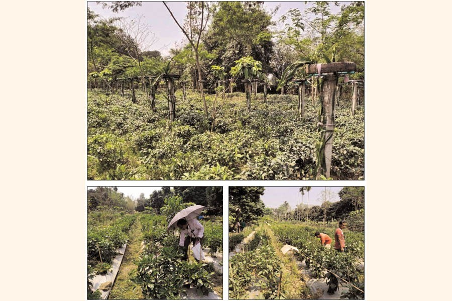 Photos show dragon fruits and tea plants on the same land (top), Moyejul Islam Moyej plucking capsicum in his garden (bottom left) and labourers at work (bottom right) in the garden at Haridash village under Aditmari upazila of Lalmonirhat district — FE Photos