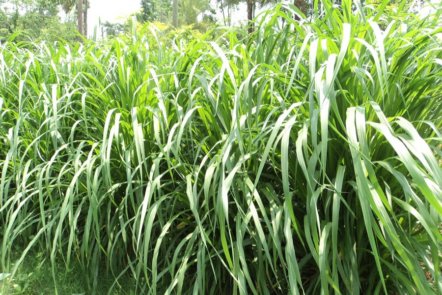 Farmers are getting benefited from cultivation of Napier grass in Bogra district. The snap was taken from Sabrag village under Bogra Sadar upazila on Tuesday.— FE photo