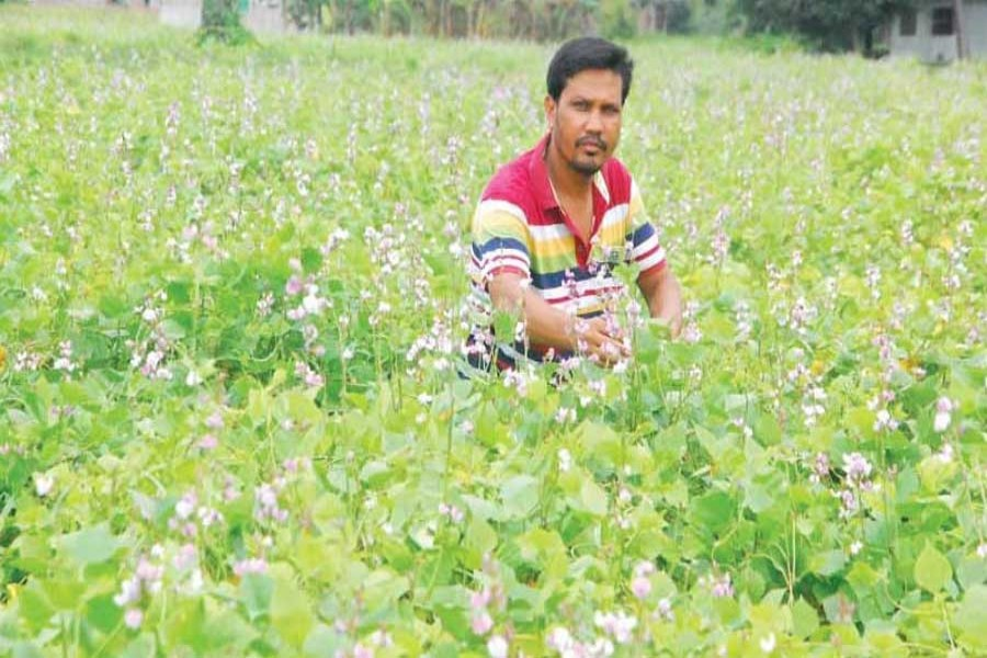 A farmer takes care of his bean field at Chatmohor of Pabna on Sunday. — FE Photo