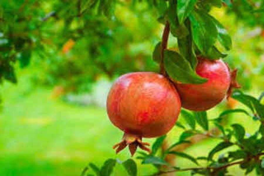Natore farmers grow pomegranate on experimental basis