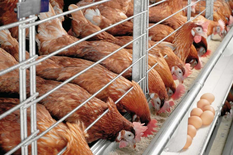 Six million people working in country's poultry industry