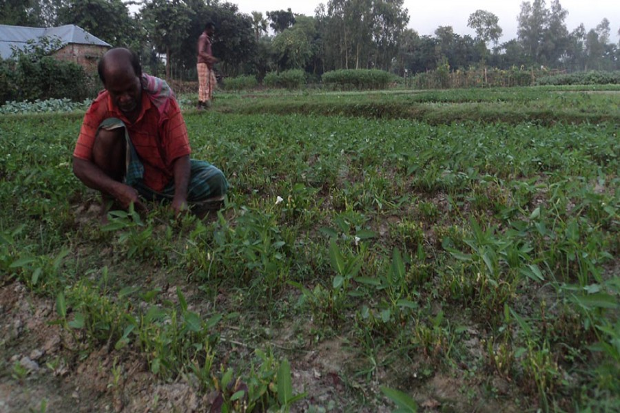 A farmer takes care of his water spinach land in Borkeder village under Kahaloo upazila of Bogra on Thursday.  — FE Photo