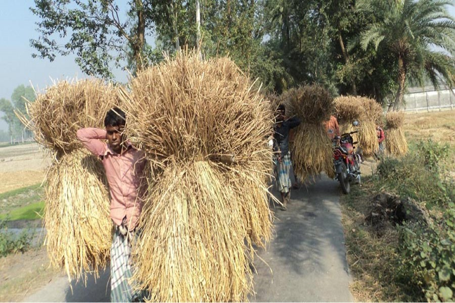 Farmers on their way home with the newly-harvested Aman paddy in Merai village under Dupchanchia upazila of Bogra on Saturday.	— FE Photo