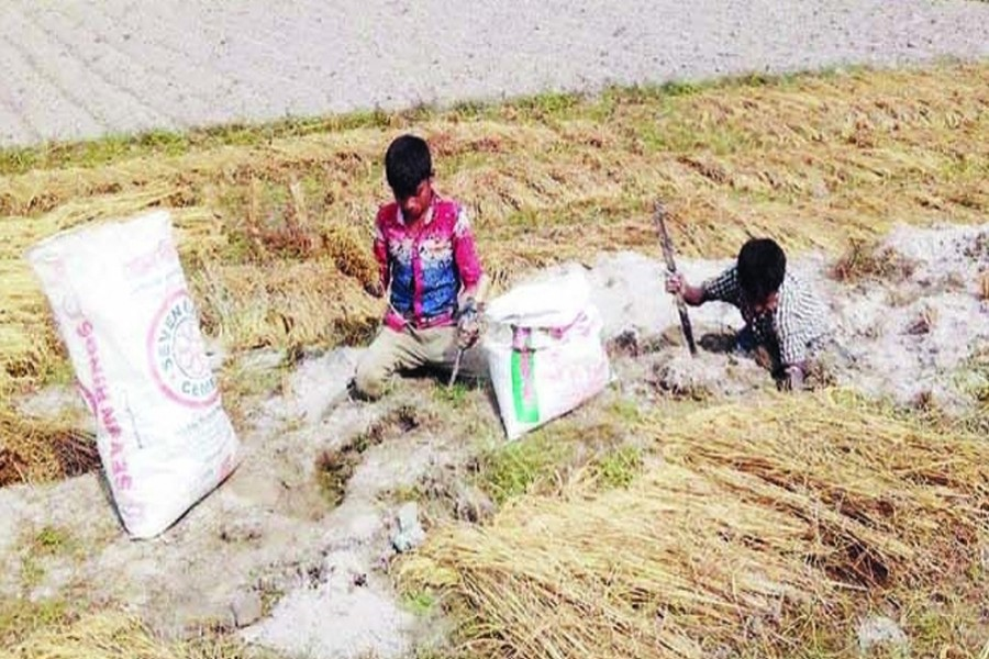 Boys collect paddy from rat holes in Char Nazirdaho village under Kawnia upazila in Rangpur on Sunday. — FE Photo
