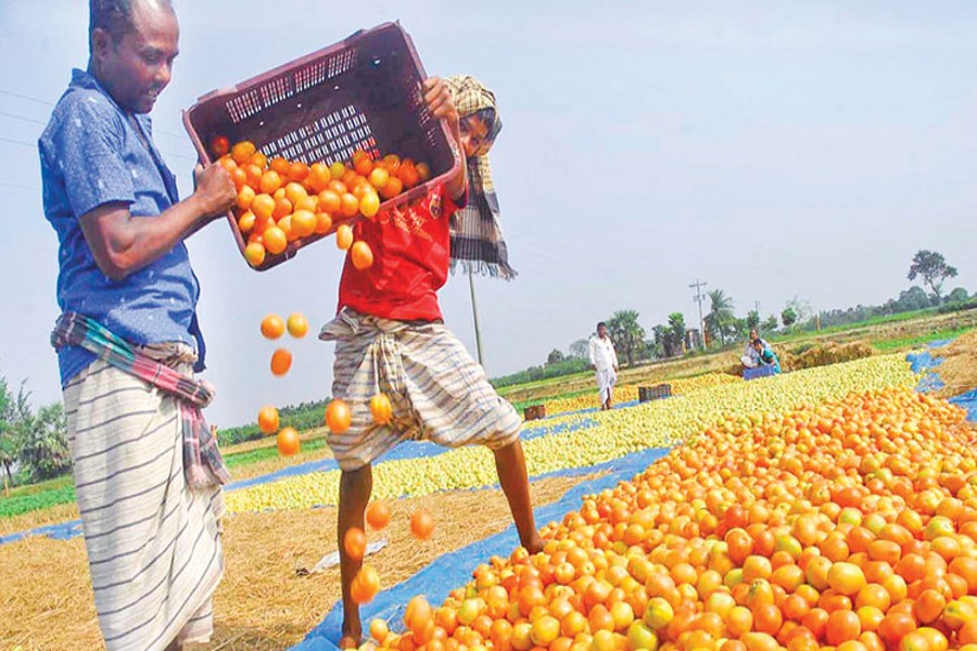 Rajshahi farmers busy harvesting  tomato in three upazilas