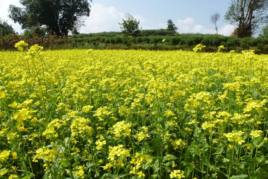 Mustard cultivation gains popularity in Magura
