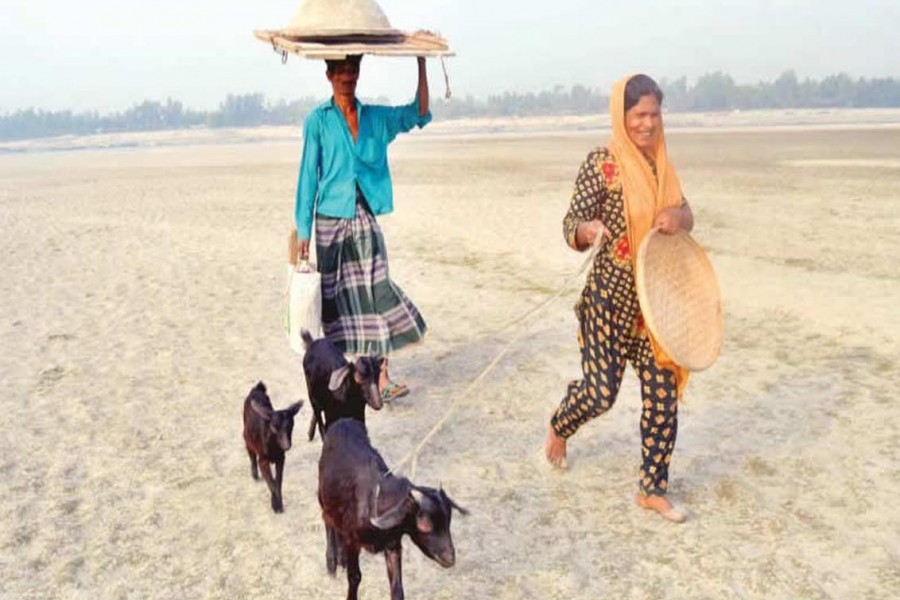 BOGRA: A couple of farmers are bringing goats home after grazing them in an area under Dhunot upazila of Bogra district. — FE Photo