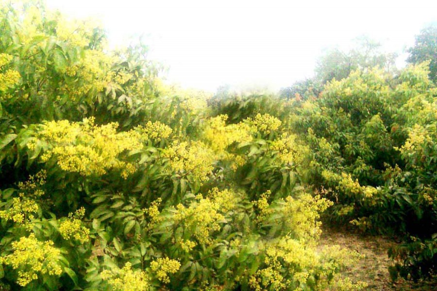 A litchi tree in full bloom in an orchard of Santospur village under Mithapukur upazila in Rangpur. — FE photo