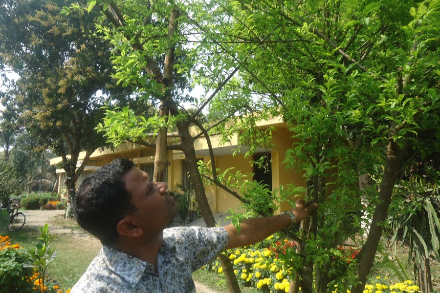 Magura Horticulture Centre official Delwar Hossein takes care of Alu Bukhara trees at the centre compound on Tuesday. — FE Photo
