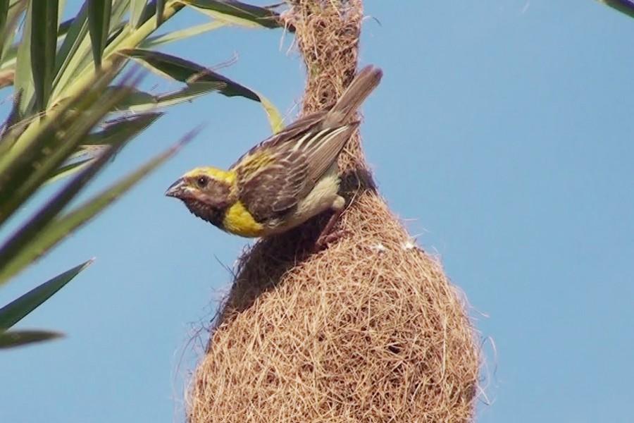 Babui, weaver bird,  disappearing from  Nilphamari