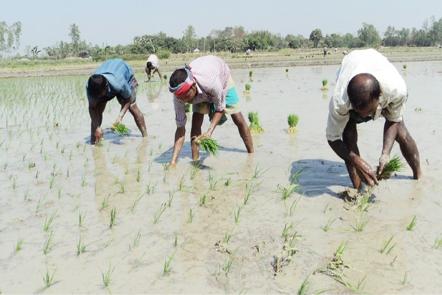Farmers plant Boro saplings on a piece of land recently in Sirajganj district. FE File Photo