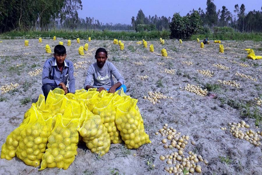 Traders collecting potatoes from a field in Khansama village under Kawnia upazila of Rangpur on Saturday for export — FE Photo