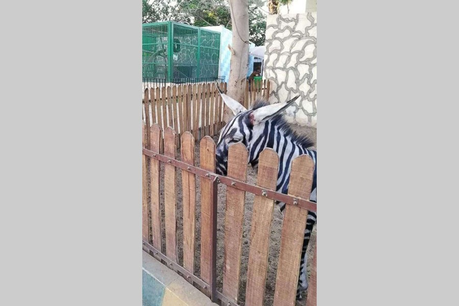 Egyptian zoo comes under criticism for painting donkeys like zebras