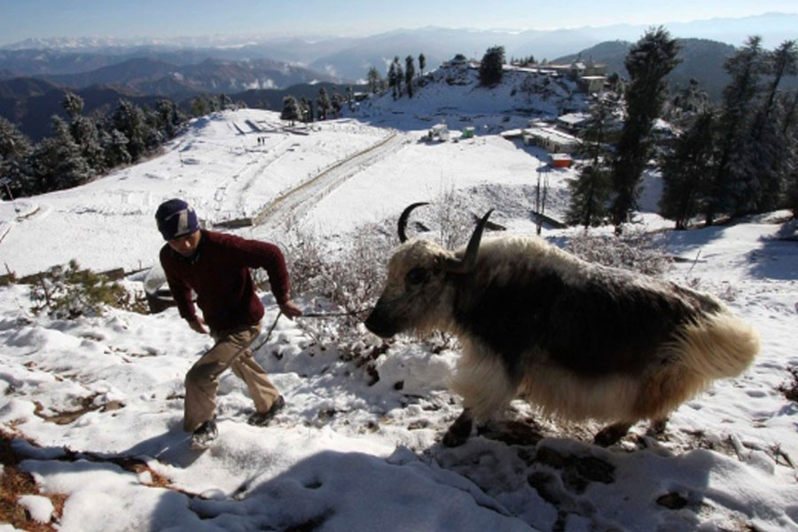 In this file photo, a boy walks with his yak after fresh snowfall in Kufri, outskirts of Shimla, India, Monday, Jan 4, 2010 - AP file photo