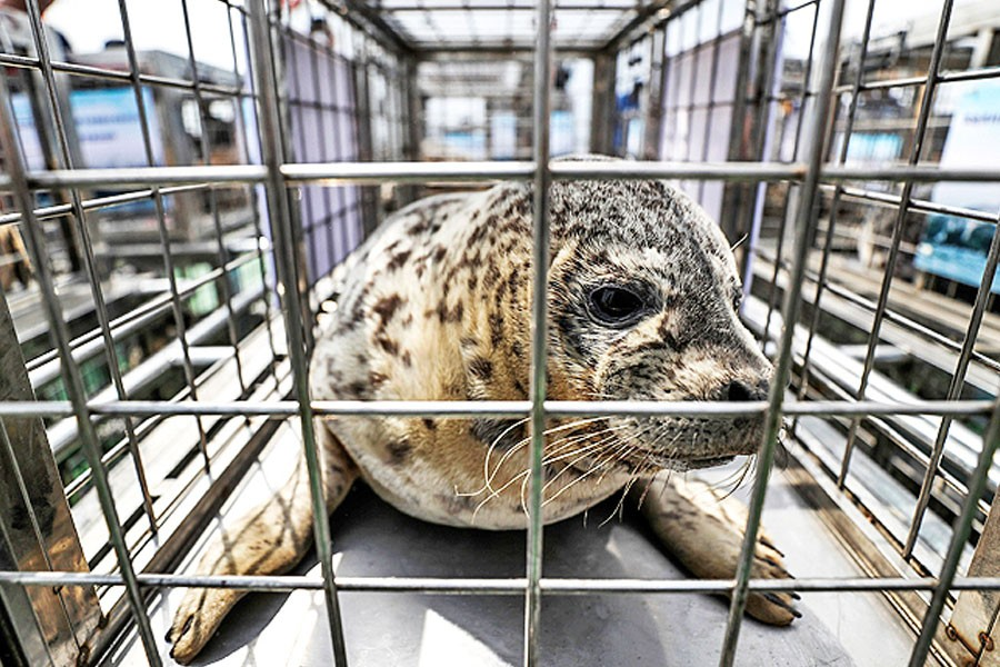 A spotted seal sits in a cage before being released by officials into the sea near Dalian in northeastern China's Liaoning province on May 10 – AP