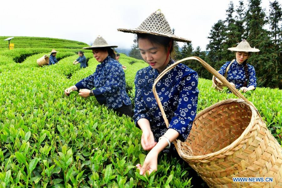 Tea farmers pick tea leaves at an ecological tea garden at Chaoyang Village of Xingcun Township in Wuyishan, southeast China's Fujian Province, April 14, 2019. - Xinhua