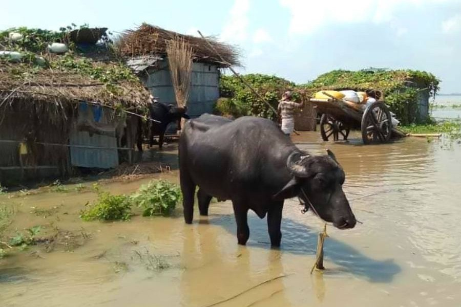 Buffaloes seen grazing at a recent flood-affected char village under Lalpur upazila in Natore district— FE Photo