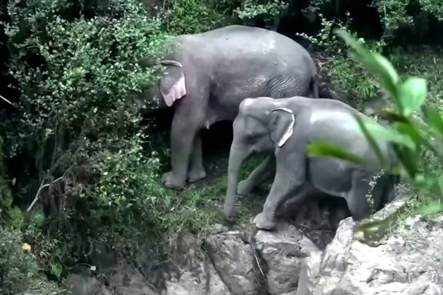 Two other elephants were also found struggling on a cliff edge nearby, and have been moved by Thai authorities - photo collected from internet
