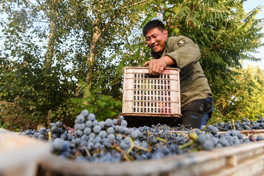 A villager carries a basket of grapes in Maanshan Village in Harqin Qi of Chifeng City, China's Inner Mongolia Autonomous Region, Sept. 17, 2019. (Xinhua/Liu Lei)