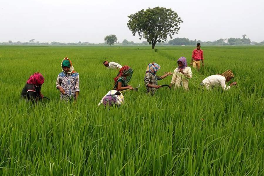 The Reuters file photo shows Labourers removing  dried grass from a rice field on the outskirts of Ahmedabad in India.