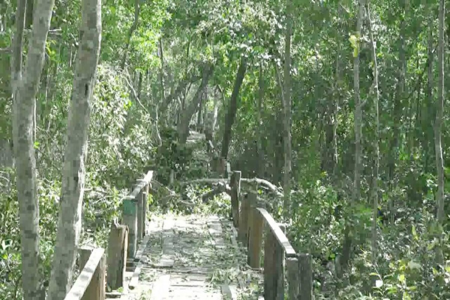 A total of 4,589 trees including Sundari were damaged in the Sundarbans by the Cyclone Bulbul that battered the coastal districts in the early hours of Sunday. Photo: UNB