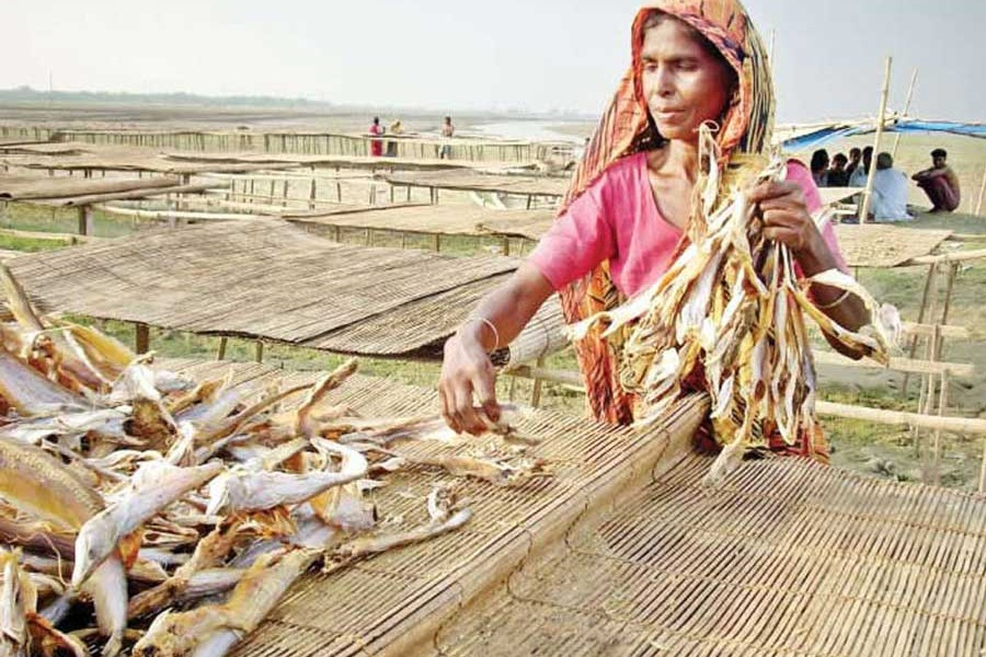 A woman worker drying processed fish in the sun on the premises of a local factory in Suzanagar upazila of Pabna district  — FE Photo