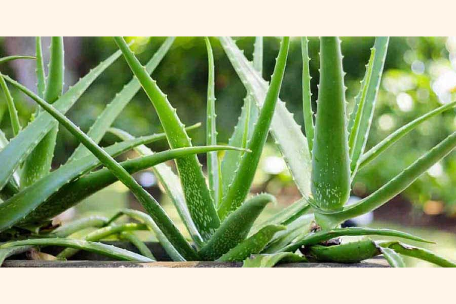 Aloe vera farming becomes popular in Naogaon