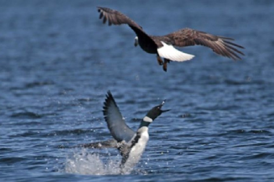Loons have been known to defend their chicks against eagles. — Jon Winslow/Department of Inland Fisheries/via BBC