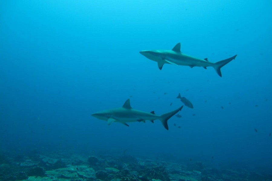 Gray reef sharks, the subject of a study on social behavior among sharks, are seen in the Pacific Ocean around the Palmyra Atoll, about 1,000 miles (1,600 km) southwest of Hawaii in this undated photo released on August 12, 2020 — Yannis Papastamatiou/Handout via Reuters