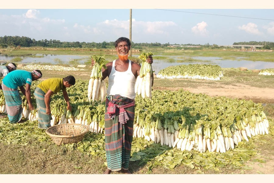 A farmer with a smiling gesture showing off two bundles of early winter variety radish that he produced on the Gumti riverbank in Cumilla — FE Photo