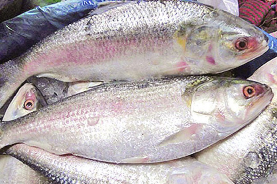 Attaining exportability of Hilsa