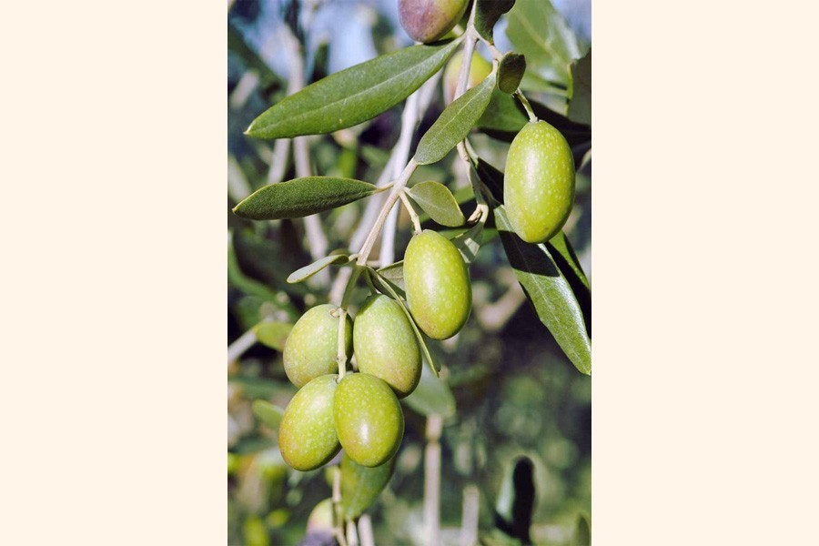 Tangail farmers find incentive in olive cultivation