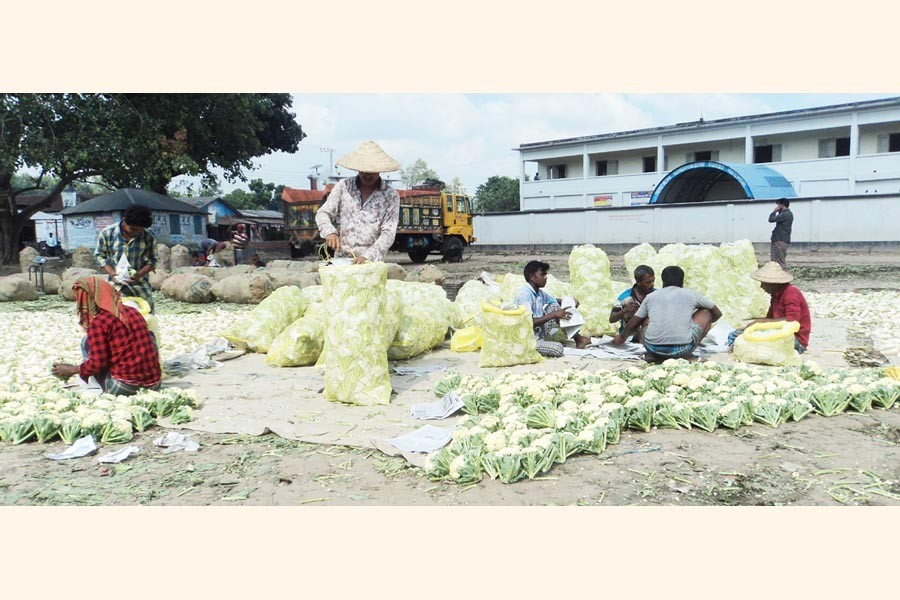 Farmers sorting out early grown cauliflowers at Mohasthan Haat under Shibganj upazila of Bogura — FE Photo