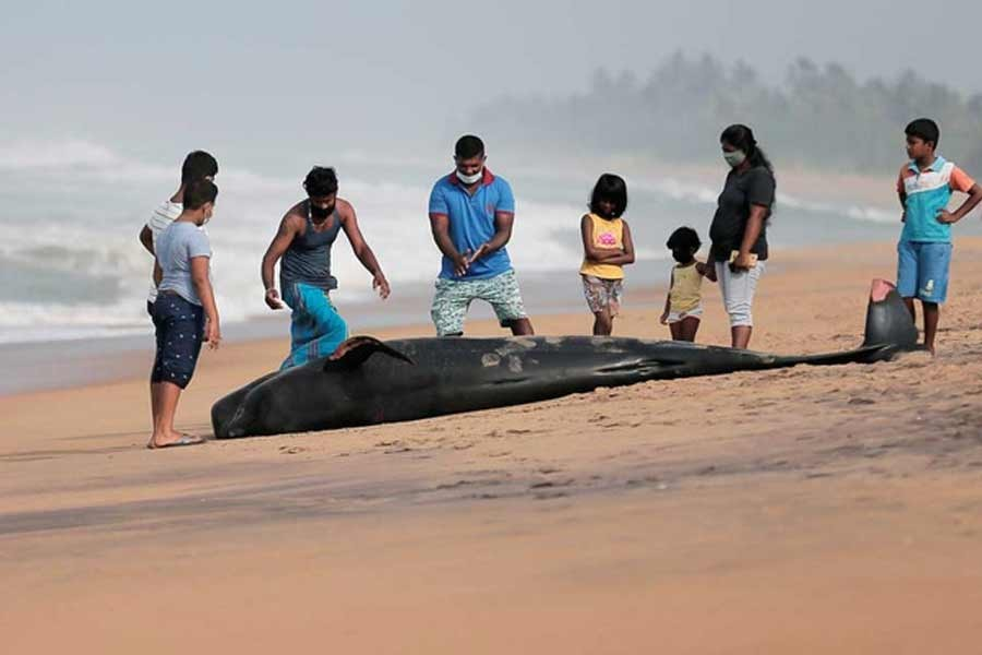 People looking at a dead pilot whale after being stranded on a beach in Panadura, Sri Lanka on Tuesday –Reuters Photo
